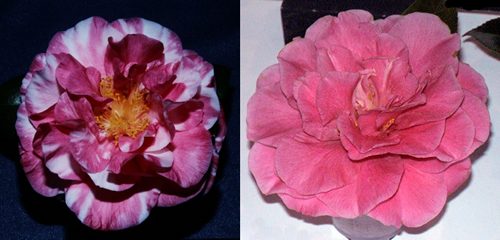 Wiregrass Camellia Society (click images for more info)